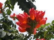 火焰樹(康樂及文化事務署網站圖片)