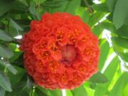 繡球樹(康樂及文化事務署網站圖片)
