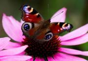 2017年7月,德國東部Dresden,蝴蝶 (peacock butterfly) (法新社)