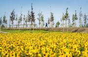 2017年7月,烏克蘭東部,太陽花 (法新社)