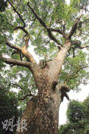 古樟樹有千年歷史,樹幹粗壯,日戰時幾乎被砍掉。(林俊源攝)