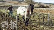 釀造好酒第一個要求是葡萄園的精耕細作,不用殺蟲劑,以傳統的方式用馬鬆土並非天方夜譚。Domaine de Bellene專門養了兩匹馬,為葡萄園鬆土。