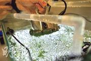 以植物膠質加上納米鐵製成內藏小球藻的小囊,只需使用磁石或電磁鐵,就能夠吸起,將處理過的水排走。