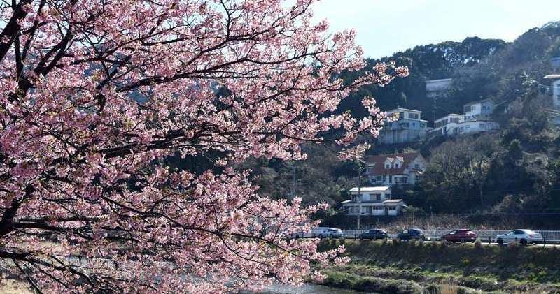 結好計劃開賭的靜岡縣,同時亦是日本著名賞櫻勝地。(資料圖片)
