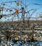 到冬天,才容易看清楚這種特別種植葡萄的方式,也看清楚了葡萄園滿地的碎石,幾乎見不到泥土。