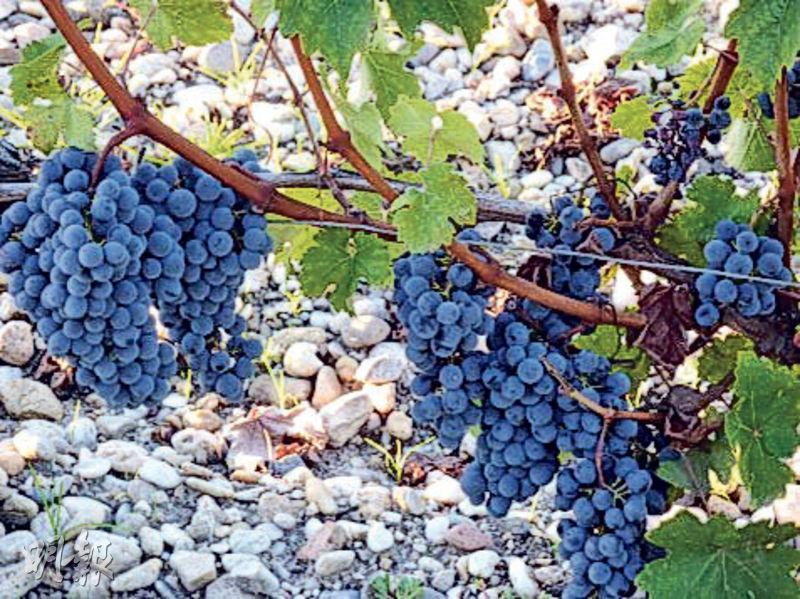左岸列級酒莊葡萄園以赤霞珠為王,這葡萄品種喜歡鋪滿礫石比較乾燥的土壤,多種植在略高的園丘上。