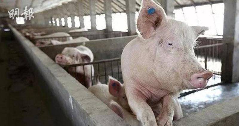 美對華豬肉出口急增 超過貿易戰前水平