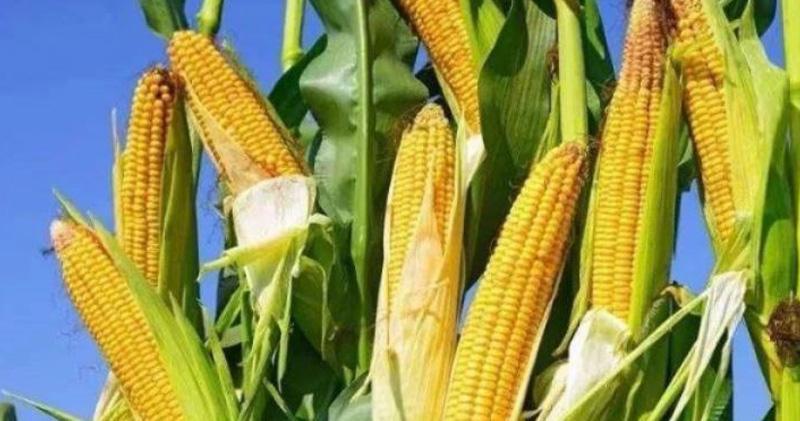 中國農業部據報要求在動物飼料中減少玉米及豆粕用量