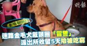 【短片】廣西迷路金毛犬「冒警」 派出所收留5天險被吃窮