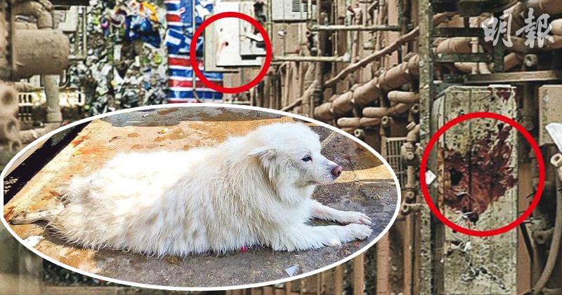 銀狐犬「小白」(白框)於尖沙嘴墮海獲救,4天後遭被告何子鈞掟落街,當場分屍慘死,現場冷氣機身可見懷疑血迹(紅圈)。(資料圖片/明報製圖)