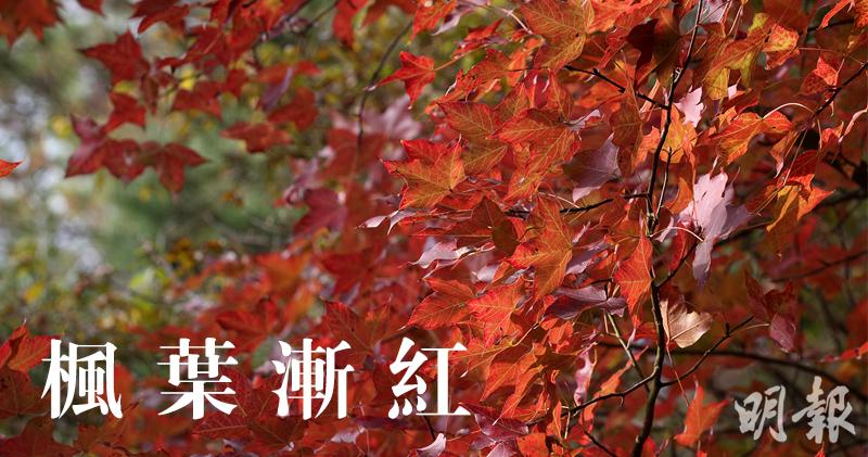 大棠楓葉漸紅,記者下午見大批市民到場賞紅葉。(曾憲宗攝)