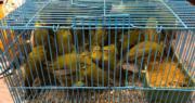 海關落馬洲檢96隻活禽鳥 市值1萬元