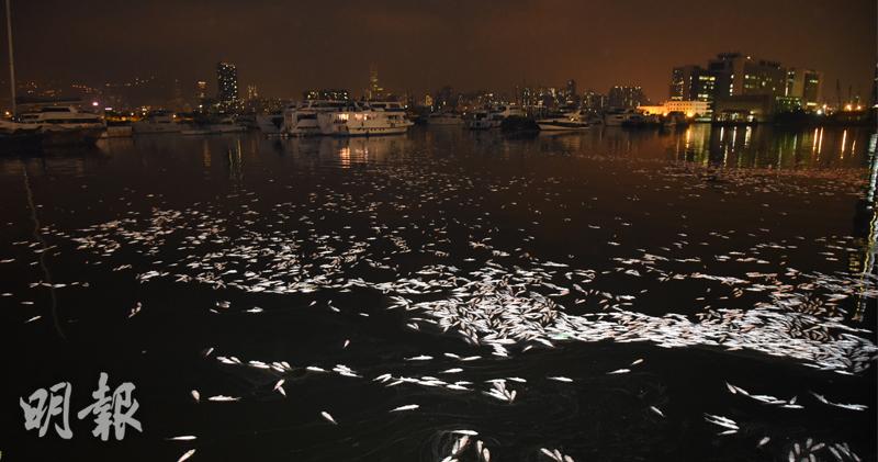 大量死魚在海面飄浮。(蔡方山攝)