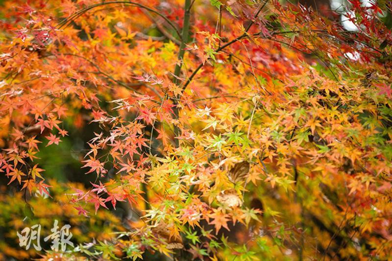 秋冬「楓」景