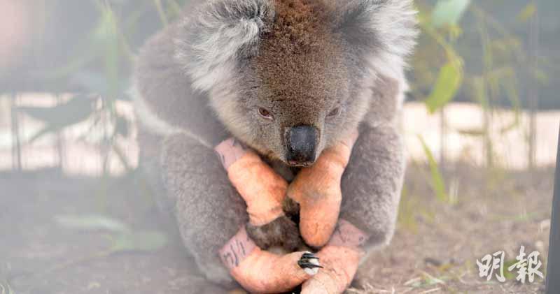 澳洲山火釀動物大災難 20物種瀕滅絕
