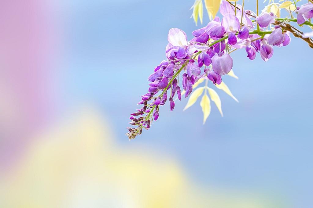 紫藤花浪漫來襲