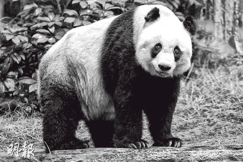 終年38歲的雌性大熊貓佳佳,生前陪伴港人17寒暑,歿後除頭骨、牙齒等骸骨及皮毛,遺體其餘部分火化後會埋在其海洋公園故居。(資料圖片)