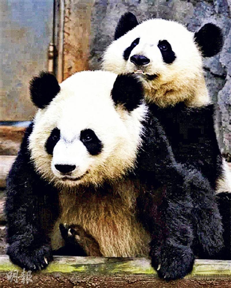 3歲半的雙胞胎大熊貓姊妹美輪、美奐月初返回中國成都。(網上圖片)