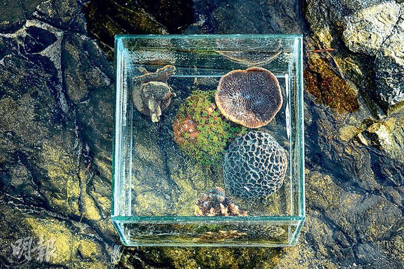 本港有84種石珊瑚,比加勒比海多約20種。左上角起順時針起為十字牡丹、盔形珊瑚、石葉珊瑚、扁腦珊瑚及鹿角珊瑚。其中盔形珊瑚屬罕有品種,但於香港的海岸公園中都可找到其蹤影,其中漁農自然護理署在西貢水域,曾錄得直徑超過1米的叢生盔形珊瑚。(鍾林枝攝)
