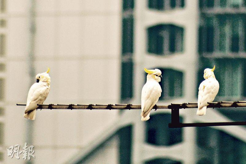 在原居地印尼及東帝汶幾乎絕種的小葵花鳳頭鸚鵡,流落香港後落地生根,主要聚居港島,由最初數隻繁衍至現時約200隻,反映牠們已適應本地環境,是外來稀有物種成功存活並建立族群的例子。在中環的石屎森林間,不時可見其蹤影。(Timothy Bonebrake攝/香港大學提供)