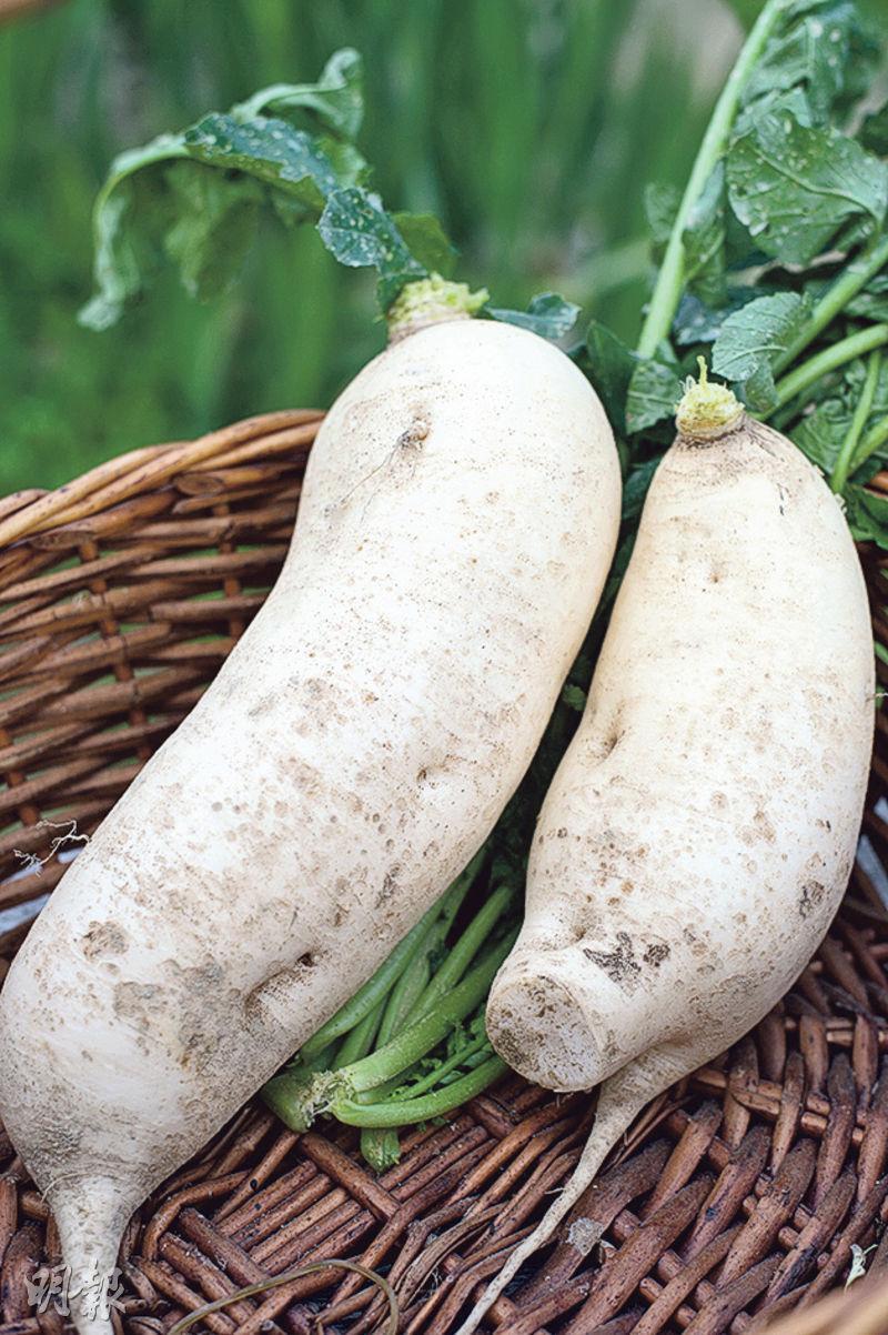 天然有機——沾黃泥的有機遲水蘿蔔,雖然大小不均等,但顆顆看來雪白粗壯,單看外表已覺清甜。枝葉則粗壯茂密,而且滿佈蟲蛀小洞,是沒下農藥的最佳證明。(圖:楊柏賢)