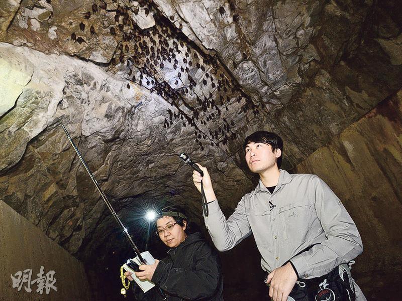 蝙蝠冬眠期間嘅生態係調查重點之一,生態調查員會記錄蝙蝠棲息位置嘅溫度、濕度、與洞口距離等資料,並會分析每年趨勢,留意有冇外來因素影響蝙蝠數目。(政府新聞網)