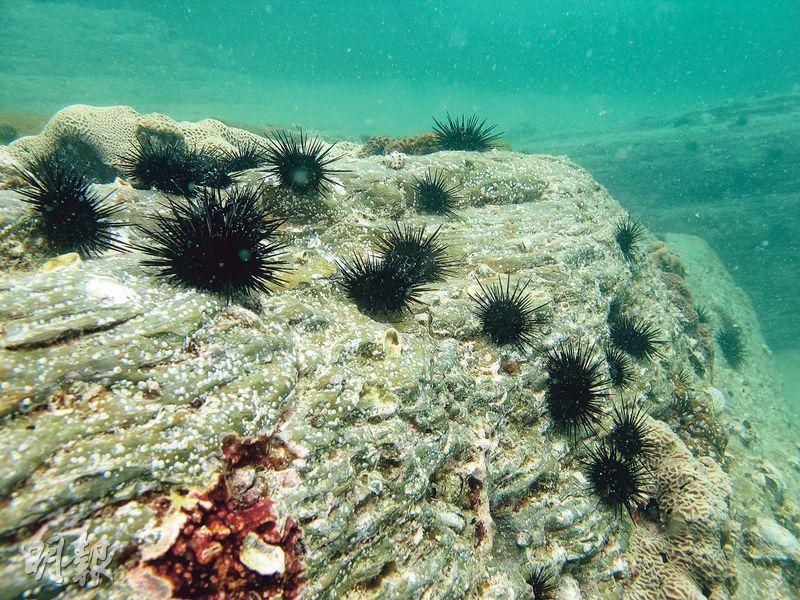 自2008年,東平洲海岸公園西南面的馬尾藻林變成荒地,紫海膽數目激增,估計與海岸公園仍准許有限度捕魚有關,海膽在缺乏天敵(如青衣魚)下大量繁殖。此圖攝於2011年8月。(世界自然基金會提供)