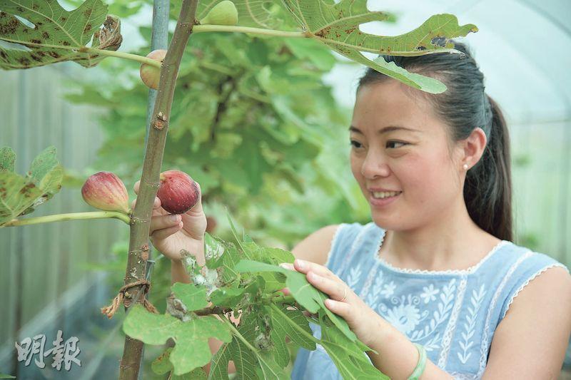 當造水果——Jacqueline會在水果當造季節親身在農場摘果實,即日製作新鮮的果醬。圖中的是無花果,採收期較一般水果長,有利果園為餐廳長期供貨。(圖:黃志東)