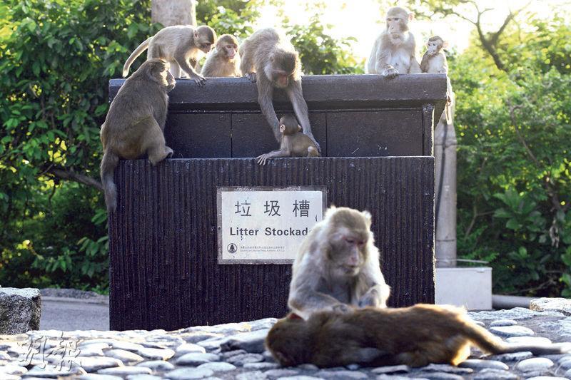 為免猴子將垃圾帶到行山徑,漁護署於今年4月起在城門和金山公園試行設置可防止猴子亂翻的垃圾箱。記者昨到金山公園觀察,發現其中一個設置大埔道旁的垃圾箱被群猴包圍,更不時有幼猴跌入箱內,要由其他猴子拉出來。(楊柏賢攝)