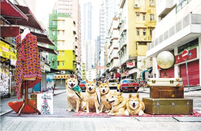 5隻柴犬叫「WE5」,已經喺中上環住咗超過7年,成為咗狗狗KOL嘅爸爸Yakult(左起)、姐姐Mochi、妹妹Mini、哥哥Toro同媽媽Yobi,就帶住相機,帶大家用唔一樣嘅角度睇吓中上環。(旅發局提供)