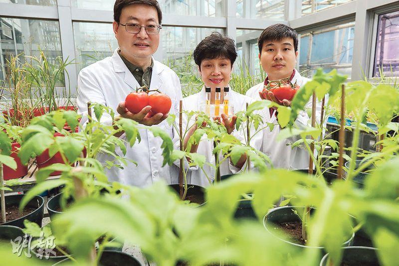 港大生物科學學院教授蔡美蓮(中)與團隊透過基因改造技術,提高番茄的抗氧化功效及成分,她手上的試管中,兩支較深色(中及右)為基因改造番茄的樣本,因β-胡蘿蔔素及番茄紅素含量較多,其餘一支較淺色(左),屬普通番茄樣本。左為該學院副教授王明福,右為博士後研究員廖攀。(李紹昌攝)