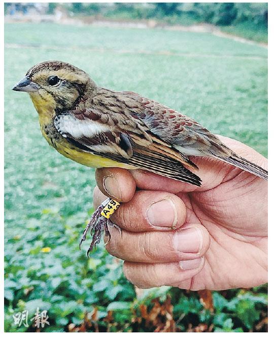 觀鳥會在塱原展開鳥類環誌工作,為禾花雀戴上圖中的金屬環及彩環,環上有特定號碼,以便追蹤其移動及遷徙。(香港觀鳥會提供)
