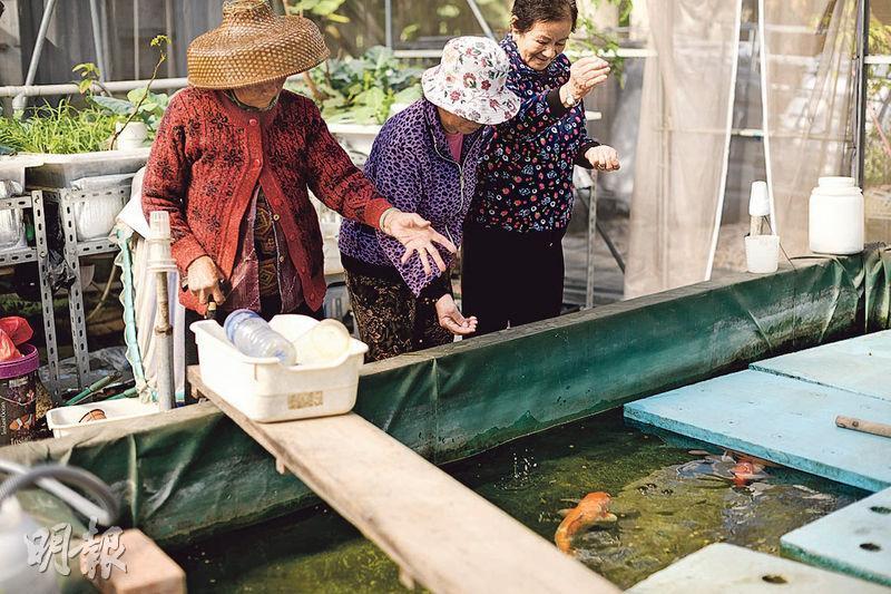 照顧錦鯉魚——3名婆婆從前以捕魚為生,對園內的錦鯉魚情有獨鍾,因此常常來照顧牠們。(圖:蘇智鑫)