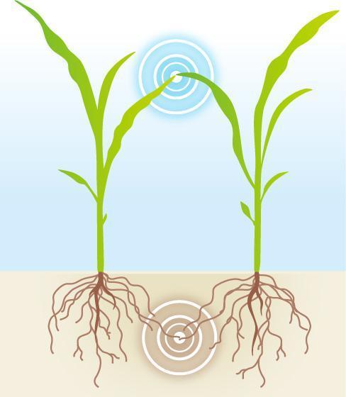 科學家發現,植物可透過葉片物理接觸和根部釋放化學物,作「對話」和分辨敵友。圖為植物溝通示意圖。