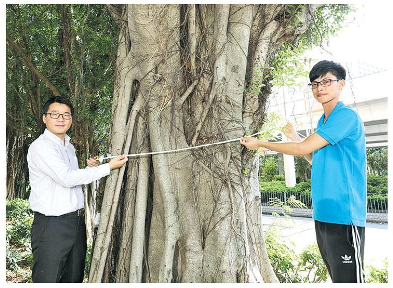 在THEi環境及設計學院環境學系助理教授張浩(左)的指導下,THEi園藝及園境管理(榮譽)文學士畢業生胡竣軒(右)花約1年時間量度及記錄全港約480棵古樹名木資料。圖為竣軒示範量度柴灣一棵大樹樹幹直徑。(THEi提供圖片)