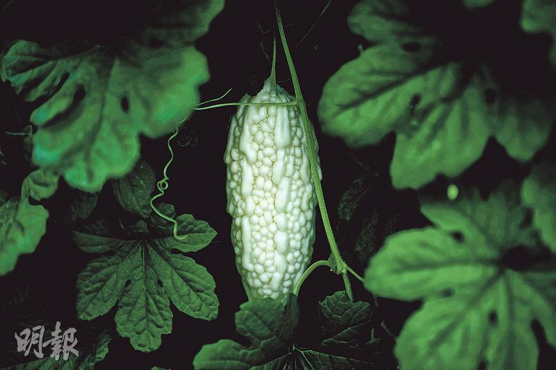合時涼瓜﹕苦瓜四月下種,一般七至九月便能收成。它又被稱為涼瓜,因具清熱解暑功效,非常適合夏天食用。(蘇智鑫攝)