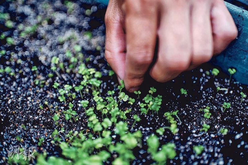 泡水發芽﹕剪開苦瓜種子頂端,泡於清水半天,讓其外殼軟化幫助發芽,數日後就會長出子葉。(蘇智鑫攝)