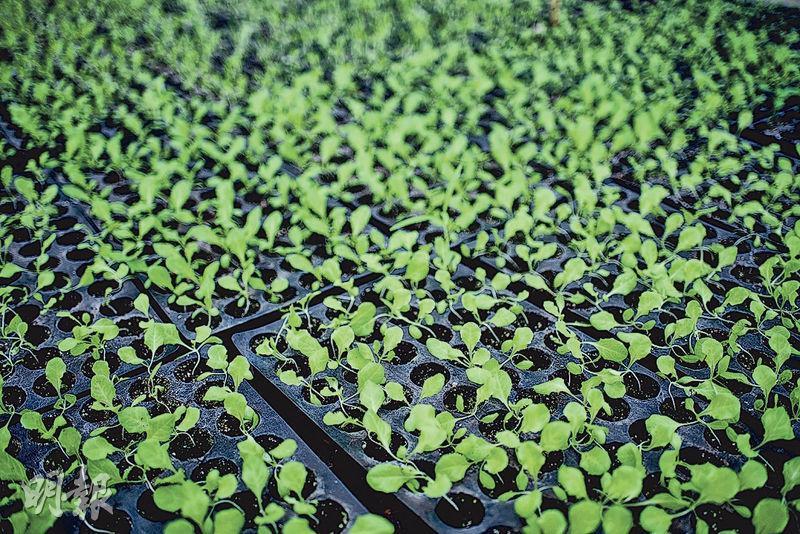 移到苗格﹕發芽後,幼苗移到苗格內種植。待兩三星期後長出真葉,便能移植到田裏。(蘇智鑫攝)