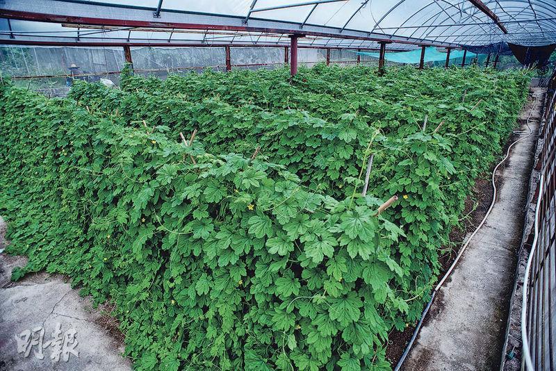 依附竹枝成長﹕苦瓜屬蔓藤植物,葉莖細長柔軟,不能直立而生。幼苗下種後,要用竹枝搭建棚架,讓它依附向上生長,吸收足夠陽光。(蘇智鑫攝)