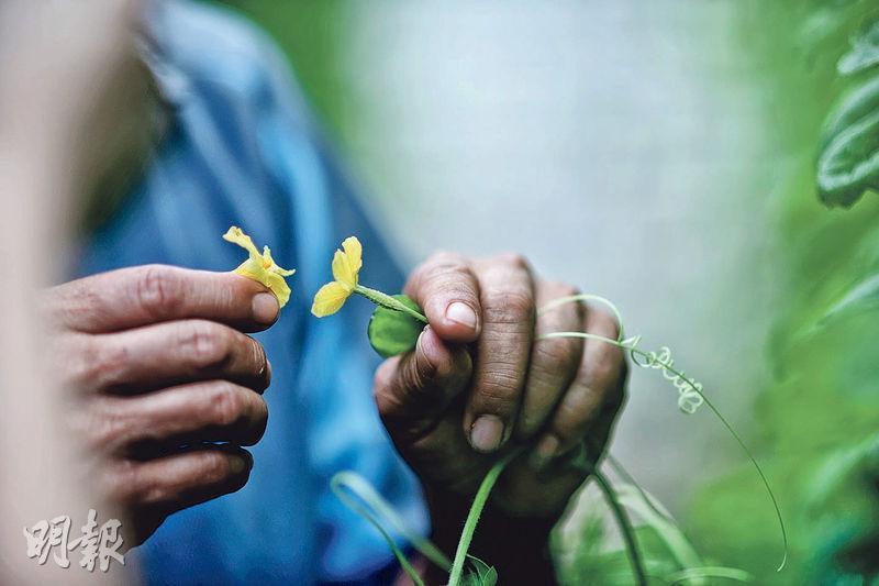 摘花授粉﹕將雄花摘下,拿到雌花表面來回摩擦,將花粉塗上雌花花蕊。完成授粉後,隨着雌花瓣凋謝,後面的花托會慢慢長大,結成苦瓜。(蘇智鑫攝)