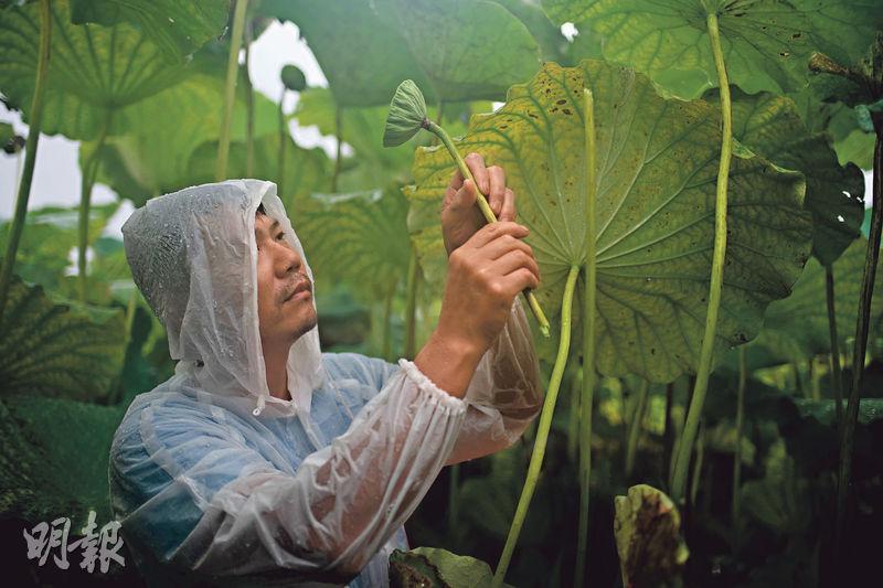 採蓮蓬——原居民簡偉康把蓮蓬取近眼前細看,看到蓮子脹大夠成熟了,就可以摘下。(蘇智鑫攝)