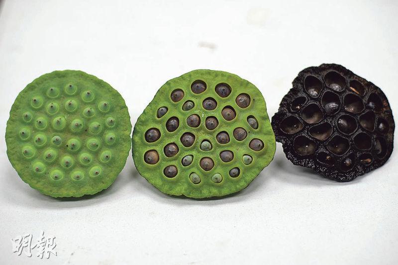 蓮蓬轉變——左:蓮蓬完成授粉後剛脹大可以摘下,蓮子殼仍是青綠色澤,非常幼嫩。中:蓮子漸轉褐色,與蓮蓬輕微分離,已經非常成熟,是採摘的最佳時機。右:蓮蓬及蓮子都已經乾枯,蓮子殼較硬,不易破開,宜留作煲湯。(蘇智鑫攝)