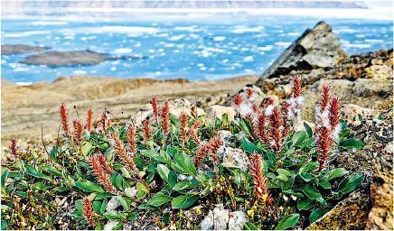 研究發現北極凍土地區的植物愈長愈高,專家認為是全球暖化的影響。圖為位於加拿大極北的埃爾斯米爾島上常見灌木北極柳。(網上圖片)