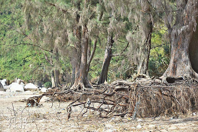 樹根外露——山竹的強風,幾乎將樹根下的沙完全掏空,有塌下的危機。(賴俊傑攝)