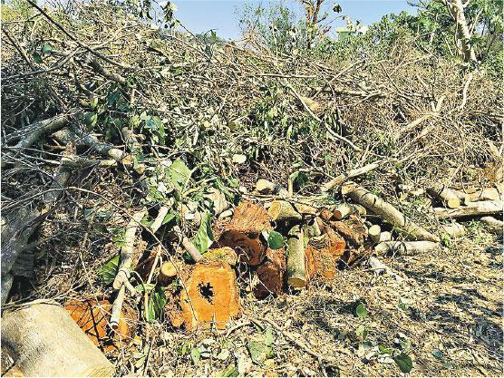 小坑放樹——不應將塌樹放置在陡斜的路旁或隨便疊放,因為在風雨或動物碰撞下,有可能引發新一輪滾塌,誤傷途人,應放在平地或小坑中。(受訪者提供)