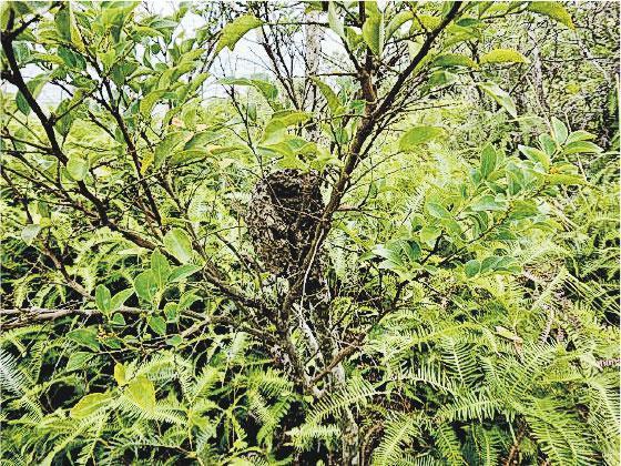 危險陷阱——搬移塌樹及清除垃圾前,應小心觀察塌樹及附近環境,例如留意樹枝上或垃圾堆內有沒有蜂巢或蟻窩(圖)?搬移時會否牽連旁邊的樹木?垃圾堆中有沒有危險爆炸品如氣樽?漁護署職員在鋸除斷樹前,會評估旁邊的樹枝會否有斷掉的危險,如有需要先以繩索固定樹枝,避免鋸樹過程中跌下來傷人。(受訪者提供)