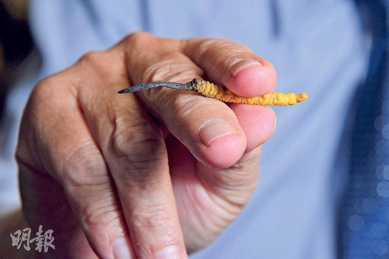 測試手勢——性狀鑑別是從眼觀、手摸、鼻聞、口嘗等方面辨別中藥材真偽和優劣。何發怡以圖中手勢測試冬蟲夏草的硬度,既不會弄斷冬蟲夏草,也感受到其硬度。(黃志東攝)