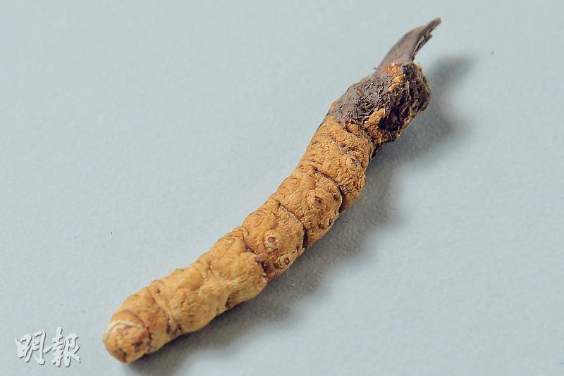 真品特徵——冬蟲夏草足部有像火山口的凹陷形態,蟲體環狀紋清晰。(黃志東攝)