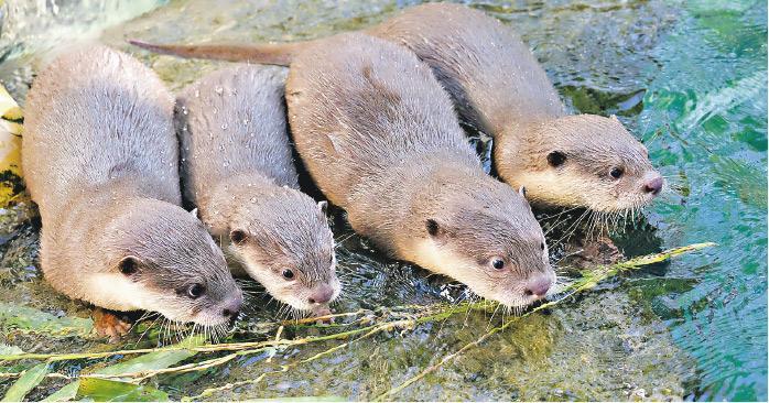 4隻小爪水獺寶寶已經5個月大,由於佢哋嘅爸媽用時同分命名,所以呢4個BB改名都以「秒」為靈感,左起分別為Centi、Mei、Miu同埋Milli。一家六口現居於海洋公園「亞洲動物天地」。(海洋公園提供)
