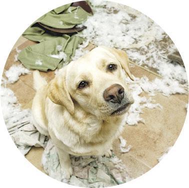 了解搗蛋原因——狗做出搗蛋行為並非刻意惹主人生氣,牠們亂咬東西可能是因為焦慮、寂寞、磨牙等,主人要了解牠們行為背後原因,才能對症下藥,改善行為。(atwstudios@iStockphoto)